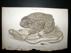 Shaw C1810 Antique Print. Common Toad